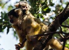 小的共同的松鼠猴子-松鼠猴属 库存图片