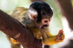 小的共同的松鼠猴子-松鼠猴属 免版税库存图片