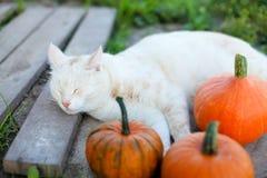 小的南瓜和一只猫在温暖的秋天天 免版税库存图片