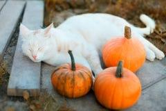 小的南瓜和一只猫在温暖的秋天天 库存图片