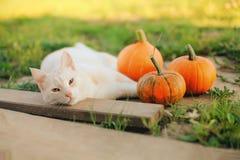 小的南瓜和一只猫在温暖的秋天天 库存照片