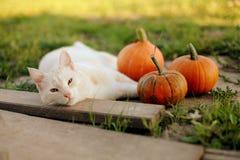 小的南瓜和一只猫在温暖的秋天天 免版税图库摄影