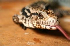 小的印度尼西亚蜥蜴 库存照片