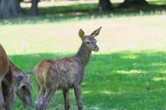 小的可爱的小鹿集中了森林声音在它吃草的母亲鹿附近 库存照片