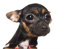 小的可爱的狗玩具 免版税库存照片