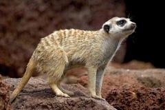 小的哺乳动物 库存图片