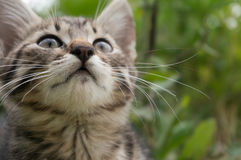小的在绿色夏天草的平纹蓝色猫 免版税库存照片