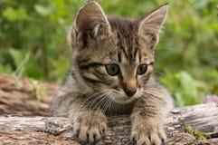 小的在绿色夏天草的平纹蓝色猫 库存图片