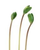 小的大豆新芽 库存图片