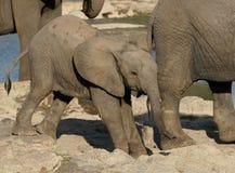 小的大象 库存照片