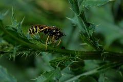 小的大黄蜂 免版税库存照片