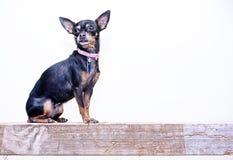 小的奇瓦瓦狗 库存图片