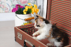 小的嬉戏的小猫三色在葡萄酒手提箱 库存图片