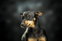 小的宠物 免版税库存照片
