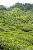 小的小山在茶园 免版税库存图片