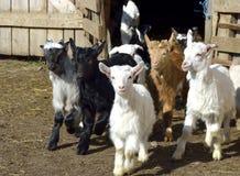 小的小山羊 免版税库存图片