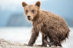 小的小熊在湖 图库摄影