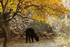 小的小牛在秋天, Hussaini,北巴基斯坦 库存照片