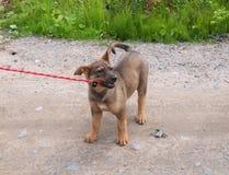 小的小狗嚼皮带 库存照片
