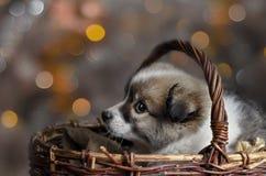 小的小狗在篮子坐五颜六色的bokeh背景  库存照片