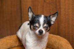 小的小狗奇瓦瓦狗狗皱眉他的从乐趣的眼睛 免版税库存照片
