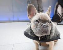 小的小狗法国牛头犬 免版税库存照片