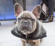 小的小狗法国牛头犬 库存照片