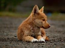 小的小狗粗心大意的童年  图库摄影