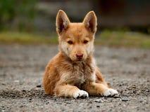 小的小狗粗心大意的童年  库存图片