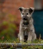 小的小狗粗心大意的童年  库存照片