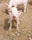 小的小猪 免版税图库摄影