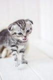 小的小猫哭泣的猫叫声 免版税库存照片