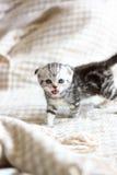 小的小猫哭泣的猫叫声 库存照片