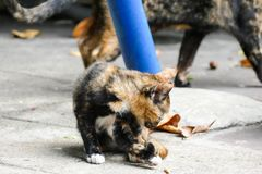 小的小猫在一个寺庙居住在泰国 免版税图库摄影