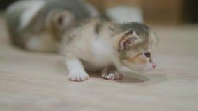 小的小猫在室慢动作录影附近采取第一步 逗人喜爱的三色小的全部赌注生活方式 猫 股票录像