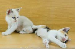 小的小猫夫妇  免版税库存照片