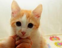 小的小猫手中女主人 免版税库存照片