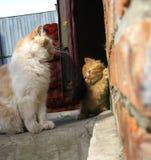 小的小猫注意的母亲猫 免版税库存图片