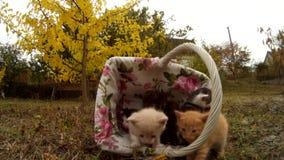 小的小猫走柳条筐和步行在草甸本质上 股票视频