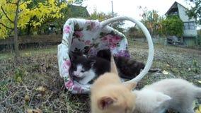 小的小猫走柳条筐和步行在草甸本质上 股票录像
