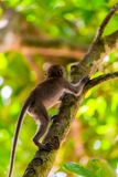 小的小猴子爬一棵高大的树木 免版税库存图片