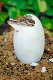 小的小鳄鱼 免版税库存照片