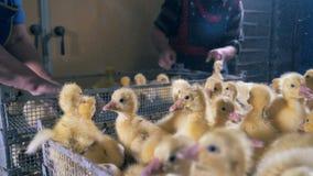 小的小鸡从箱子,关闭提高 股票视频