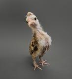 小的小鸡 免版税库存图片
