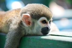 小的小猴子拥抱您的妈妈 免版税库存照片