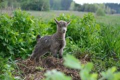 小的山羊吃草 免版税图库摄影