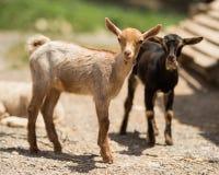 小的山羊在农场 免版税库存照片