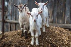 小的山羊在仓前空地 库存图片