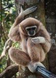 小的布朗长臂猿,酸值苏梅岛,泰国 免版税库存图片
