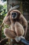 小的布朗长臂猿,酸值苏梅岛,泰国 免版税库存照片